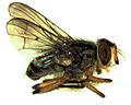 Muscidae NZ sp 1 male.jpg