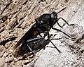 Mydas Fly, Mydas clavatus Asiloidea (38485352271).jpg