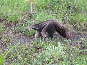 Myrmecophaga tridactyla; Giant Anteater in the...