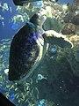 Myrtle the Green Sea Turtle eating lettuce 02.jpg