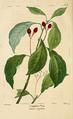 NAS-083 Cinnamomum camphora.png