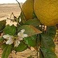 Naarakam-flower-001.jpg