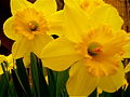 Narcissus pseudonarcissus (daffodills) - 2.jpg