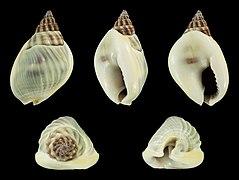 Nassarius bellulus 01.JPG