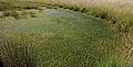 Nationaal Park Drents-Friese Wold. Locatie Fochteloërveen. Waterveenmos (Sphagnum cuspidatum), Veenpluis (Eriophorum angustifolium) 03.JPG