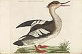 Nederlandsche vogelen (KB) - Mergus serrator (voor243).jpg