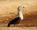 Neochen jubata Pato carretero Orinoco Goose (16146422284).jpg