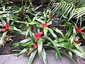 Neoregelia cyanea - Kew gardens a.jpg