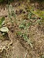 Nepeta cataria L. (AM AK295007-2).jpg