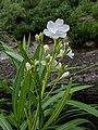 Nerium oleander 20180921 141822.jpg