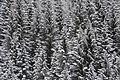 Nevicata su bosco di abeti - panoramio.jpg