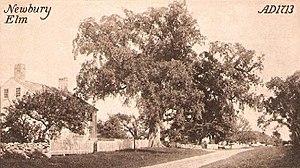 Newbury Elm, Newbury, MA.jpg