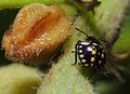 Nezara viridula 3 instar nymph 03.jpg