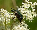 Noble Chafer. Gnorimus nobilis - Flickr - gailhampshire (1).jpg