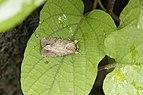Noctuidae sp2.jpg