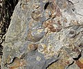 Nodules in siliciclastics (Vinton Member, Logan Formation, Lower Mississippian; Rt. 16 roadcut northeast of Frazeysburg, Ohio, USA) 5 (40816288972).jpg