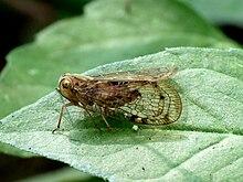 Nogodinidae by kadavoor.jpg