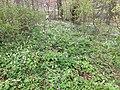 Noorderplantsoen Gasthuizen Stinzenflora 22 34 58 513000.jpeg
