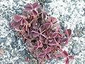 Noordwijk - Gehoornde klaverzuring (Oxalis corniculata).jpg