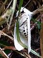 Noordwijk - Spilosoma lubricipeda (Witte tijger).jpg