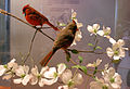 Northern Cardinals on Flowering Dogwood.jpg