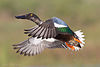 Northern Shoveler by Dan Pancamo.jpg
