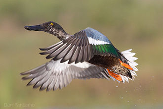 Northern shoveler - Northern shoveler in Brazoria National Wildlife Refuge