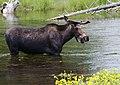 Npnht-moose-henrys-fork-snake-river-island-park-id-07112012-rogermpeterson-005 (7645633550).jpg