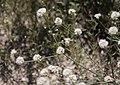 Nude buckwheat Eriogonum nudum binary branching.jpg