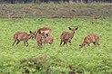 Nyalas in Mlilwane Wildlife Sanctuary.jpg