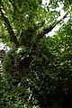 Oak canopy with holly and ivy at Nuthurst, West Sussex, England.jpg