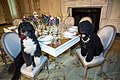 Obama family pets Bo, left, and Sunny sit at a table in the State Dining Room of the White House, 2014.jpg