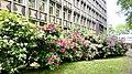 Oberhausen – Rhododendronblüte am FA - panoramio.jpg