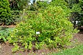 Ocimum gratissimum - Mounts Botanical Garden - Palm Beach County, Florida - DSC03705.jpg