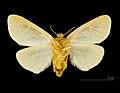 Ocneria rubea MHNT.CUT.2012.0.357 Monteils (Gard) Female Ventre.jpg