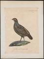 Odontophorus guianensis - 1825-1834 - Print - Iconographia Zoologica - Special Collections University of Amsterdam - UBA01 IZ17100185.tif