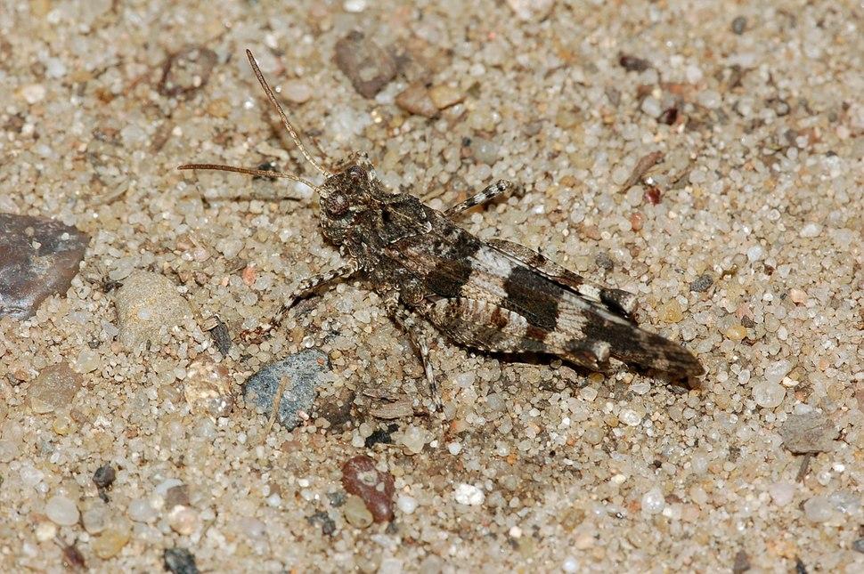 Oedipoda caerulescens fg03