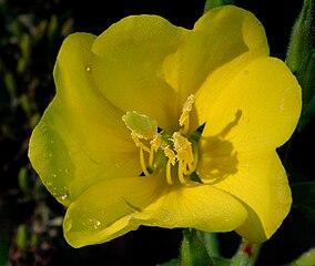 Flor de Oenothera biennis