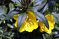 Oenothera fruticosa glauca Fireworks 3zz.jpg