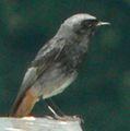 Oiseau-zarb-2.jpg