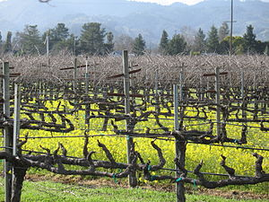 Vines during their winter dormancy that demons...