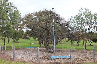 Old Mulberry Tree at Reeves Point - A tree considered to be the oldest surviving fruit tree in South Australia