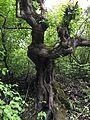 Old tree ın gusar.JPG