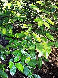 Olea paniculata leaves
