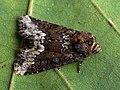 Oligia strigilis - Marbled minor - Злаковая совка светло-бурая (40235508255).jpg