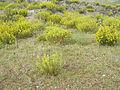 Ononis natrix habitat VolcanCabezaParda 2011-5-27 CampodeCalatrava.jpg