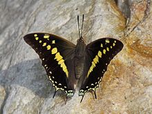 Open wing position of Charaxes solon Fabricius, 1793 – Black Rajah.jpg