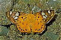 Open wing position of Coladenia indrani Moore, 1865 – Tricolor Pied Flat WLB DSC 3795.jpg