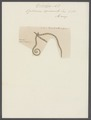 Ophiura squamata - - Print - Iconographia Zoologica - Special Collections University of Amsterdam - UBAINV0274 108 14 0004.tif