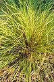 Orange New Zealand Sedge Carex testacea Plant Closeup 2000px.JPG